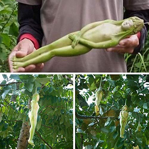 ScoutSeed D9FF F01A 10 Stücke Seltene Weibliche Ginseng Gesundheit Obst Samen Pepino Exotic Home Pflanzen