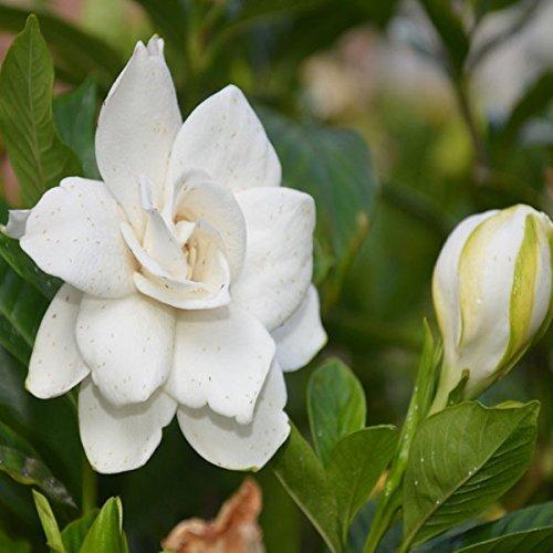 Semi 50pcs Giardino Bianco Gardenia all'aperto profumati fiori