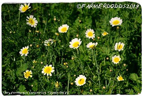 Portal Cool Chrysanthemum Coronarium 'Crown Daisy' [Ex. Olbia, Sardina] 50 Samen