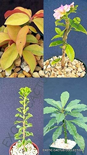 Pereskia Variety Exotic Rare Direct sale of manufacturer Collector PIant Succulents Milwaukee Mall rs2a1c