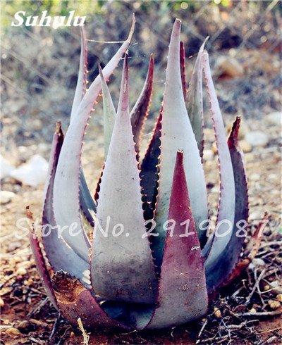 Nouveau! 20 Pcs coloré Cactus Rebutia Variété mélange exotique Aloe Graines Cacti Rare Bureau Cactus comestibles Beauté Succulent Bonsai plante 14