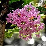 KINGDUO Egrow 120 Pcs/Pack Myrtus Seeds Lagerstroemia Indica Tree Plant Crape Myrtus Flower Seeds