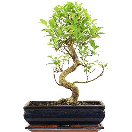 Ficus, Bonsaï, 12 ans, 54cm