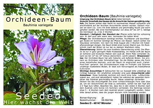 Seedeo® Orchideenbaum (Bauhinia variegata) 10 Samen