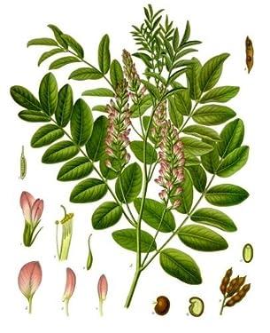 100 Semillas -Glycyrrhiza glabra-(regaliz) By Samenchilishop
