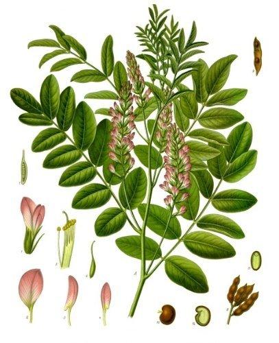 Süßholzpflanze, Lakritze -Glycyrrhiza glabra- - ca 100 Samen