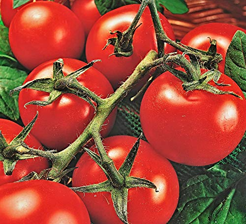 "100 Samen Tomate""Moneymaker"", Salattomate, Stabtomate, auch Kübelhaltung"