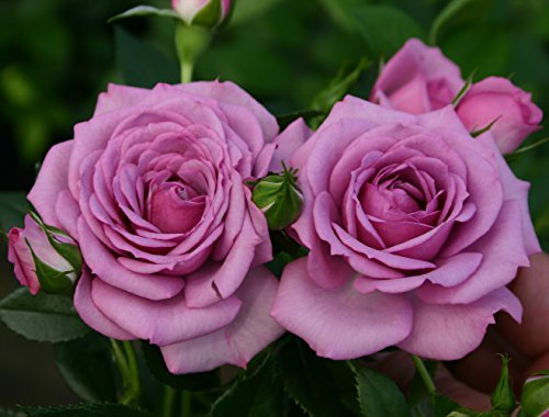 Lavender Veranda Rose Bush - Fragrant/Hardy - 4' Pot