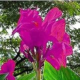 2 Piezas Canna Lily Bulbos Bulbos De Flor Hermosa Púrpura Flor De Jardín Perenne Rara Para La Plantación De Jardines Domésticos
