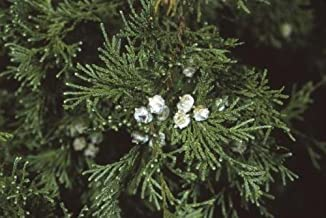 white cedar seedlings
