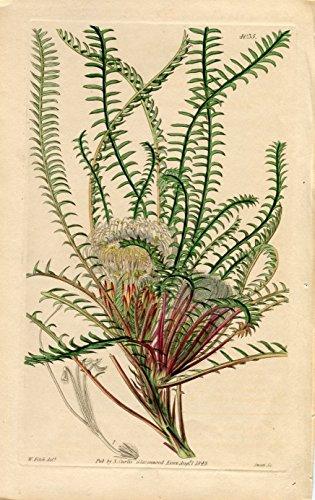 Dryandra Arctotidis - Arctotis-Like Dryandra. Altkolorierter Kupferstich (Aus: Curtis' Botanical Magazine, No. 4035).