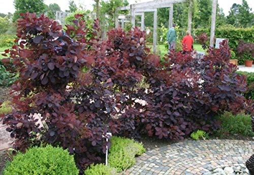 Perückenstrauch Royal Purple - Cotinus coggygria Royal Purple - Perückenbaum (40-60)
