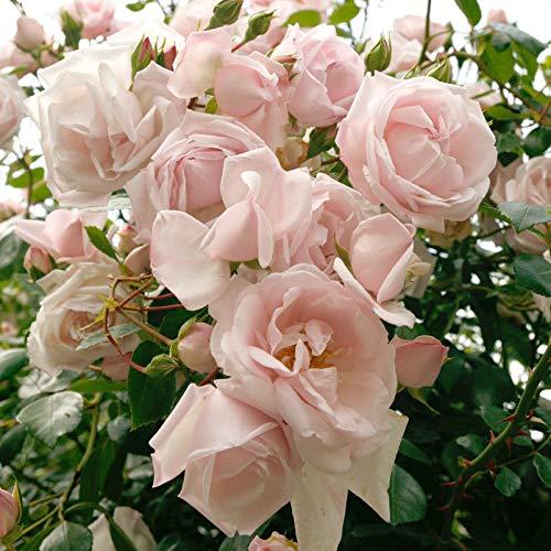 "Kletterrose ""New Dawn®"" - zart rosafarben blühende, duftende Topfrose im 6 L Topf - frisch aus der Gärtnerei - Pflanzen-Kölle Gartenrose"