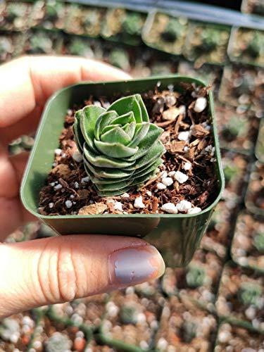 Crassula Buddha Temple Rare Succulent Plant Shown in 2' Pot