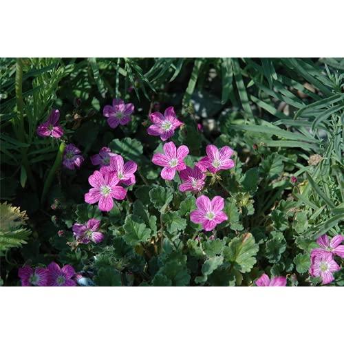 Erodium, pink - Reiherschnabel, winterhart im Topf 11 cm - 11 cm