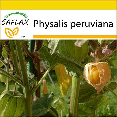 SAFLAX - Anzucht Set - Kapstachelbeere/Andenbeere - 100 Samen - Mit Mini-Gewächshaus, Anzuchtsubstrat und 2 Töpfen - Physalis peruviana