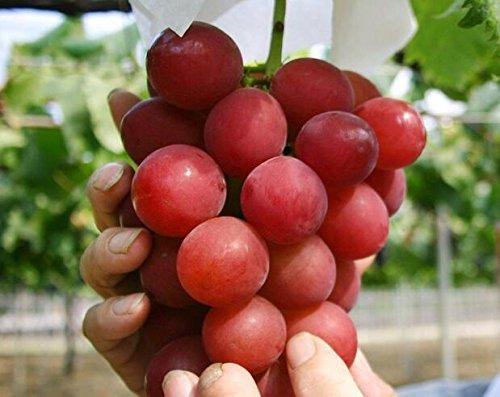 graines de gros Green Grape fruit doux et délicieux raisins de fructification bonsaïs Villa 100 graines/Pack 4