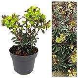 Euphorbia Purpurea Plants - Herbaceous Perennial Purple Euphorbia Plant in a 13cm Pot