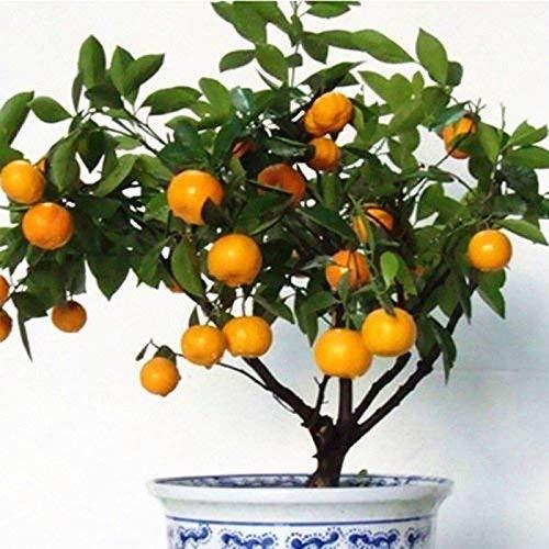 30pcs comestible de la fruta cítrica de naranja mandarina árbol Bonsai Seeds Plantas del jardín de