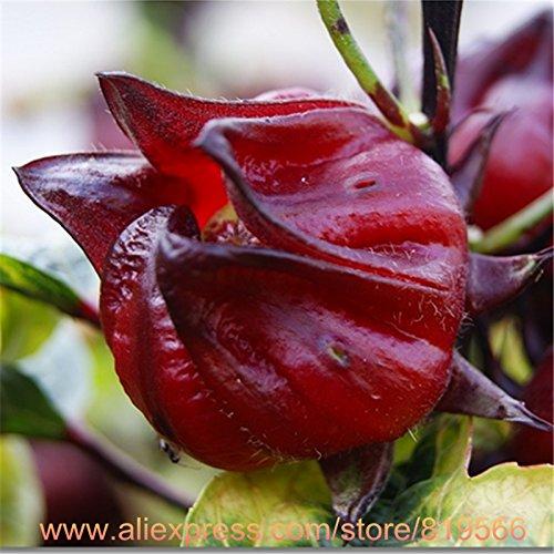 Réel semences Roselle intérieur Graines Herbal Hibiscus sabdariffa Bonsai Jardin extérieur Plantes Médecine Herbes Sementes Arbre