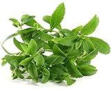 Semillas de Stevia - Stevia rebaudiana - 30 semillas
