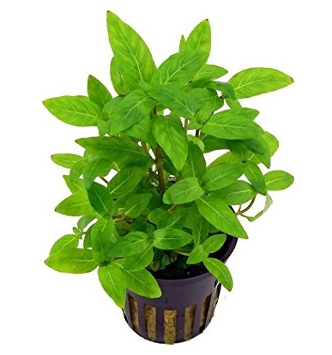 Greenpro Staurogyne Repens Live Aquatic Water Carpet Potted Aquarium Plants Freshwater Fish Tank Decoration