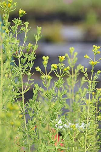 Hypericum perforatum - 3 Pflanzen im 0,5 lt. Vierecktopf