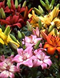 Asiatic Lily Mix | 8 Pack of Asiatic Lily Mix Bulbs | Perennial Lily Flower Bulbs