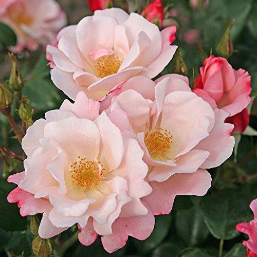 Kordes Rosen Roseromantic Beetrose, crème/lachsrosa überhaucht, 12 x 12 x 40 cm