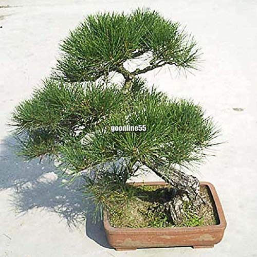 AGROBITS 10pcs / g: Japonais Pin Pinus Green TreeDecor Bonsai GS