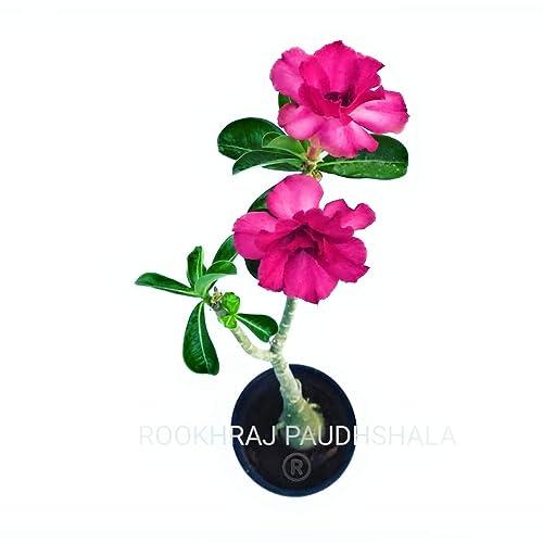 ROOKHRAJ PAUDHSHALA Adenium Grafted RGP Special Mixed Colour
