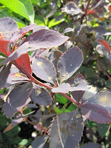 Berberis vulgaris - Gewöhnliche Berberitze - Sauerdorn - Essigbeere