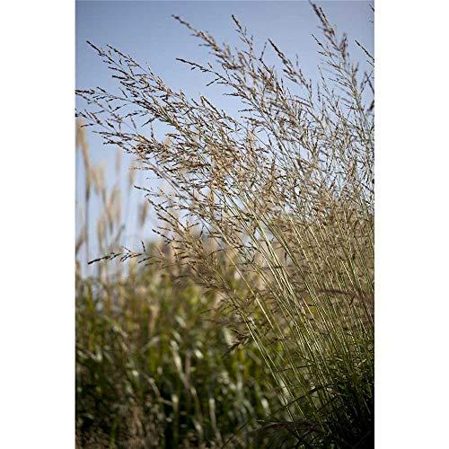 Molinia arundinacea 'Windspiel' - Hohes Garten-Pfeifengras 'Windspiel' - 17cm Topf