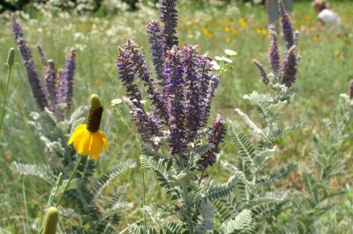 100 PURPLE LEAD PLANT (Wild Tea) Amorpha Canescens Flower Seeds