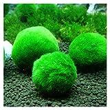 Decoración de acuarios 3-4cm Marimo Moss Bolas en Vivo Acuario Planta Algas Peces Camarón Tanque Adorno Marimo Feliz Medio Ambiental Green Seaweed Ball (Color : 10)