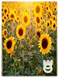 Girasol gigante 5g Heliantus annuus Semillas de flores Semillas Hortalizas Huerto Huerto