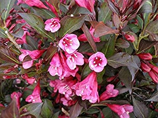Live Plant - Wine & Roses Weigela
