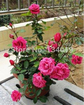 200 Stück/Beutel, chinesische Rosen-Samen, DIY Topfpflanzen, Indoor/Outdoor-Topf Seed Keimungsrate von 95% Mischfarben