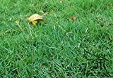 Evergreen prato Zoysia giapponese semi di erba La siccità e la resistenza al calpestio Warm-stagione per 100g impianto giardino di casa/pack
