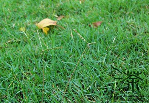 Manche de Herbe Graines de Cynodon de poule 600 pcs, vivaces Naturel Bahama Herbe jardinage Graines, famille Graminée Déco Bermuda Herbe Graines