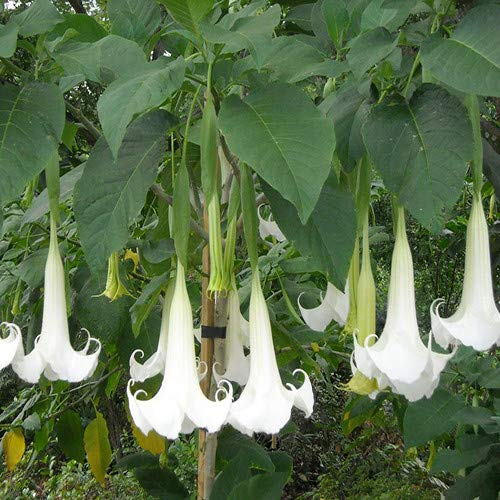 Plant World Seeds - Brugmansia Suaveolens 'Brazilian White' Seeds