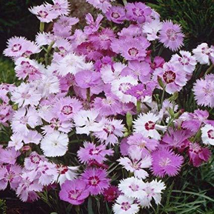 Derlam Samenhaus-100 Pcs Nelke Federnelke Sweetness mix Saatgut Blumensamen lila Nelkensamen Mischung mehrjährig winterhart seltene Samen