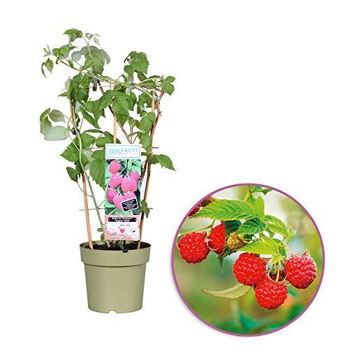 Himbeere - am Spalier - Höhe 60-70 cm - Topfdurchmesser: 21 cm - Rubus idaeus 'Two Timer' - 100 Procent FRUIT