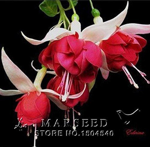 Fuchsia, Fuchsia Samen, Blumensamen Fuchsien - 100pcs Freies Verschiffen