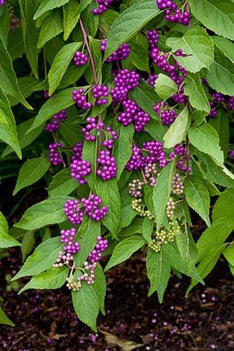 Somarac - American Beautyberry Americana 2021new shipping shopping free Seeds Callicarpa 30