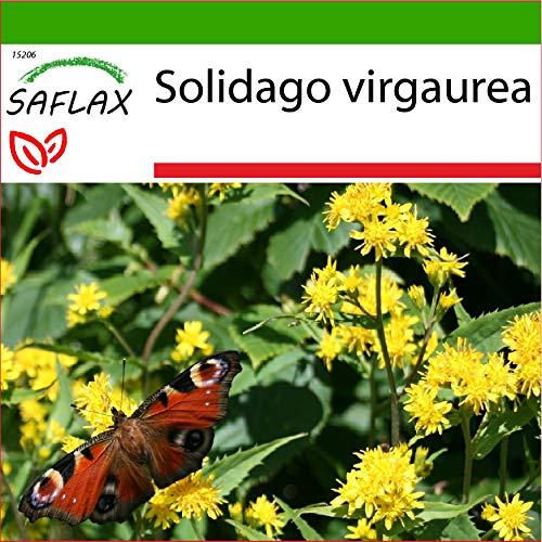SAFLAX - Heilpflanzen - Echte Goldrute - 100 Samen - Mit keimfreiem Anzuchtsubstrat - Solidago virgaurea