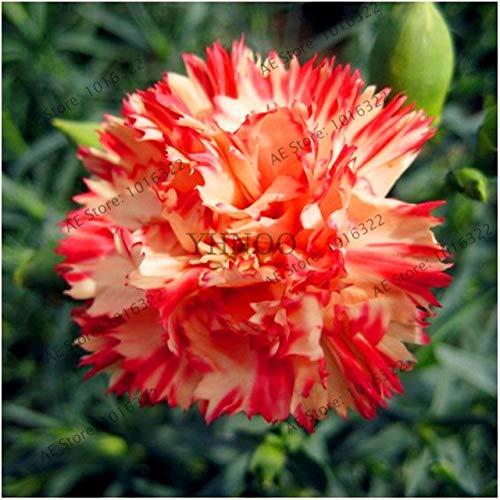Shopvise 100 Dianthus, 24 types de couleurs mixtes, William doux Fleur, Facile à cultiver, Haute Germination Bricolage Jardin: 10