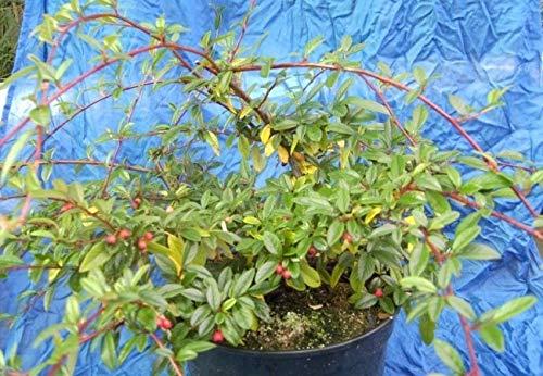 Cotoneaster salicifolius Parkteppich - Teppichmispel Parkteppich - immergrüne Kriechmispel Preis nach Stückzahl Einzelpreis