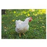 KIMDFACE Rompecabezas Puzzle 1000 Piezas,Pollo de engorde Rojo gallina Blanca sobre la Hierba Verde Pico de Agricultura de Pollo,Puzzle Educa Inteligencia Jigsaw Puzzles para Niños Adultos