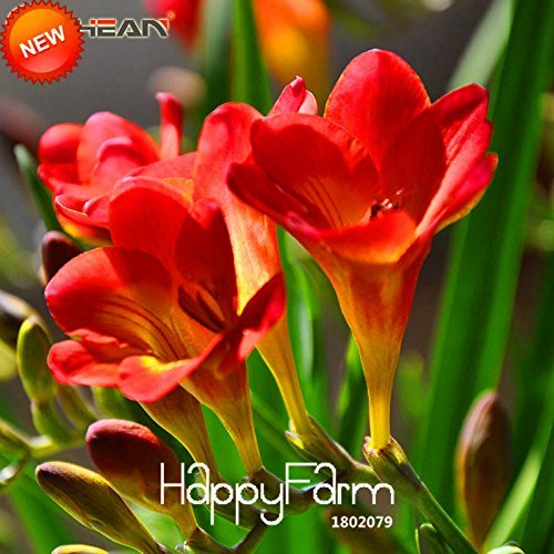 Big Promotion! Seeds Red Freesia Seeds Freesia Flower Pot Jardin Terrasse vivace Fleur 100 Pièces / lot, # 6J5ZFC